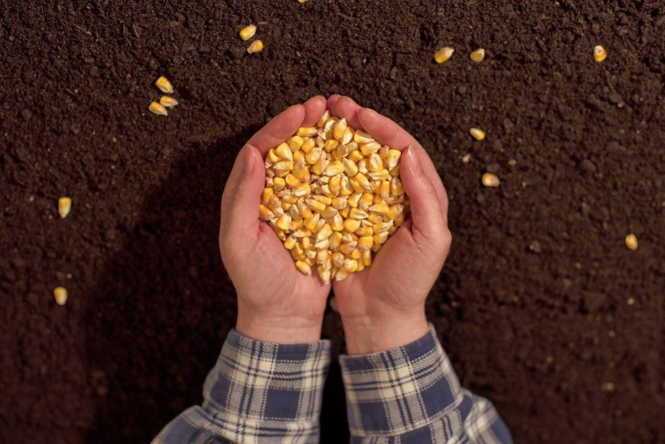 Como Cultivar Soja e Milho em Consórcio