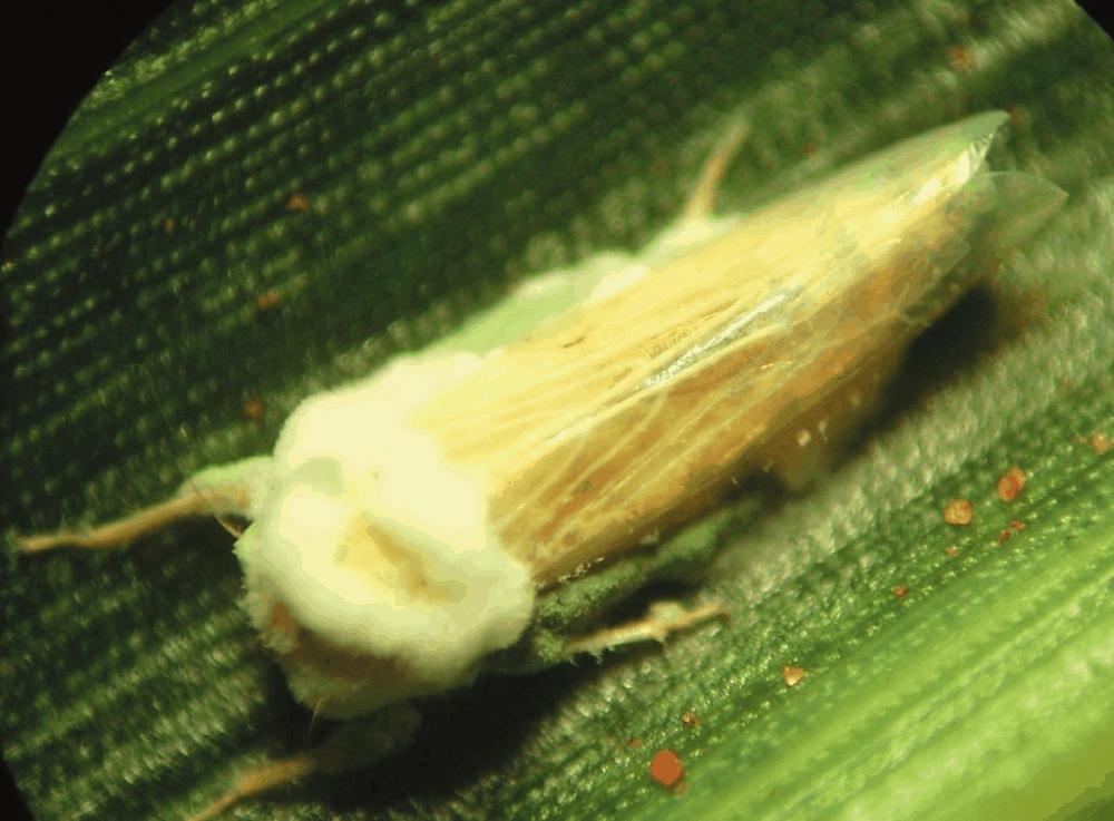 Cigarrinha-do-milho atacada pelo fungo Beauveria