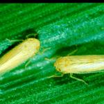 7 Manejos para o controle da cigarrinha do milho (+principais inseticidas)
